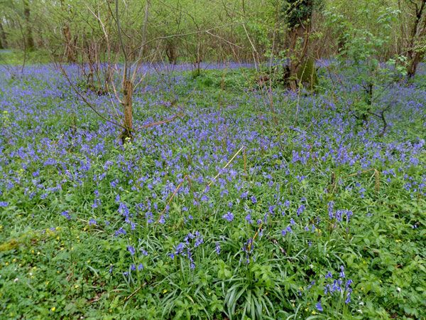 Bluebells in Garston Wood