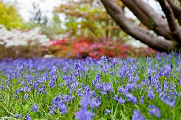 Visit Exbury for bluebells this Easter Image © Abigail Rex