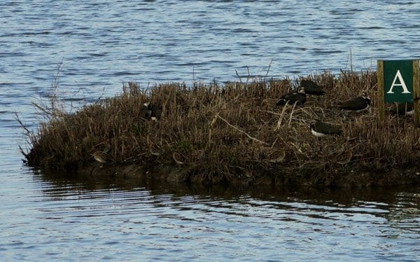 Lapwing and Snipe at Titchfield Haven