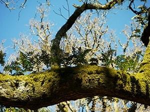 Polypody Ferns on Oak tree