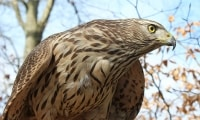 The secret lives of New Forest birds of prey