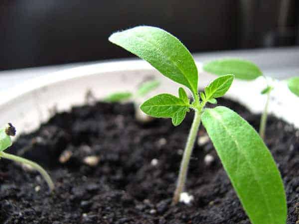Seedling growing in a pot