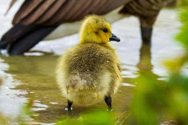 A-young-gosling-at-cadnam-pond-testing-the-water'