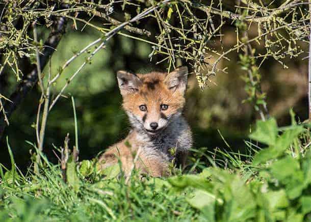 Judges-Pick-Lara-Maskell-'Fox-cub-by-its-den'