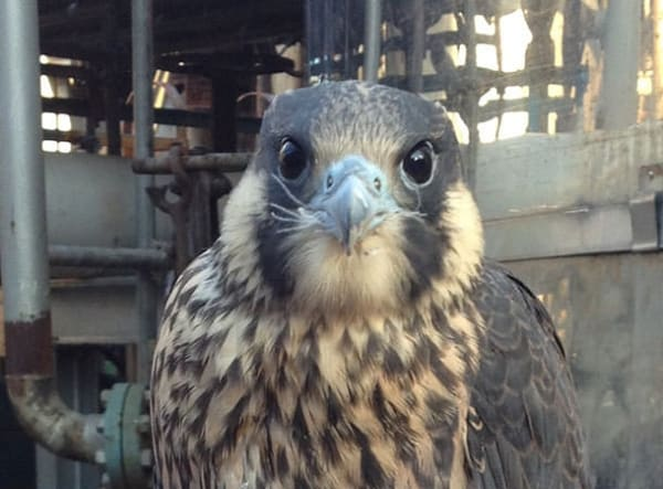 A peregrine fledgling takes a breather after making its maiden flight from the nest box at ExxonMobil Fawley in 2014.