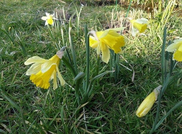 Wild Daffodils at Bolderwood