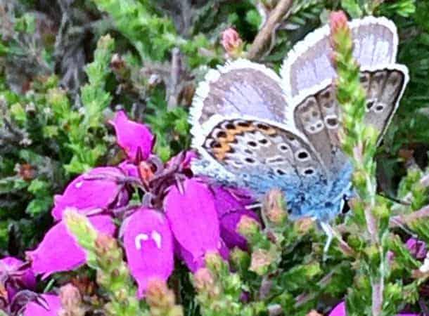 Silver Studded Blue butterfly