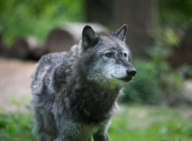 wolf - Love Your Zoo Week