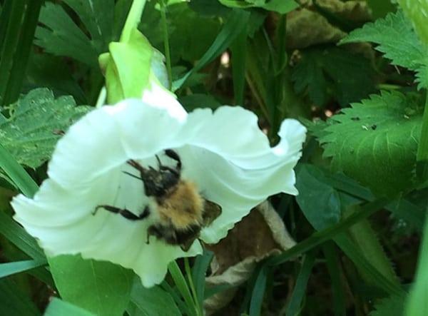 veals lane walk - tree bee on bindweed