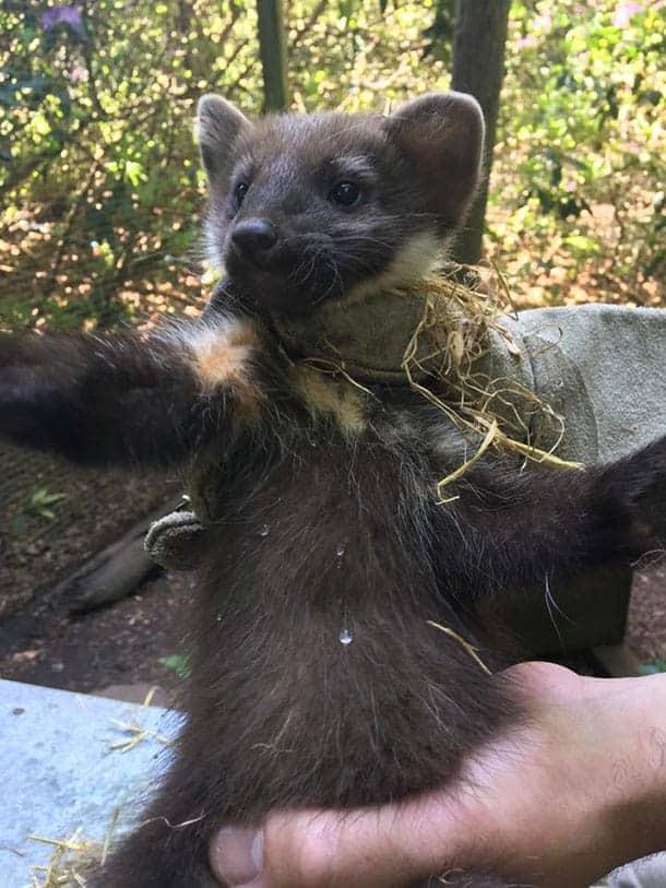 conservation - pine marten kit