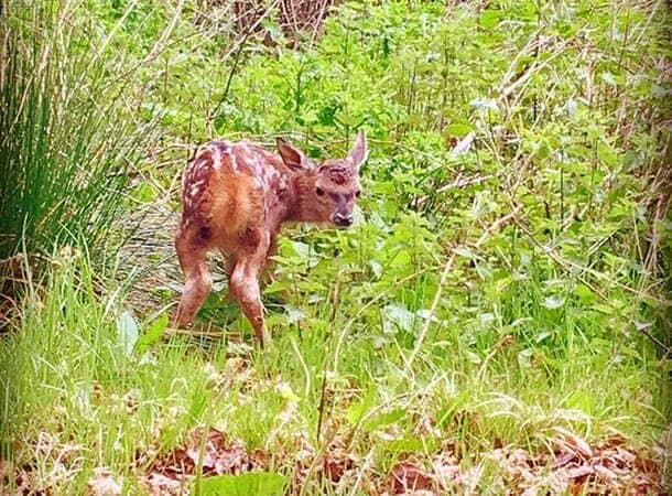 conservation - red deer calf