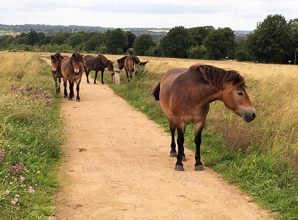 Magdalen Down - Exmoor Ponies