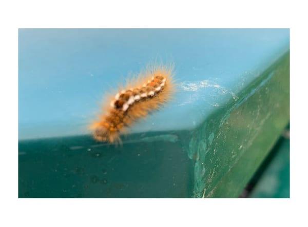 Brown tail Moth caterpillar