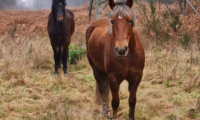 New support for the New Forest commoning community